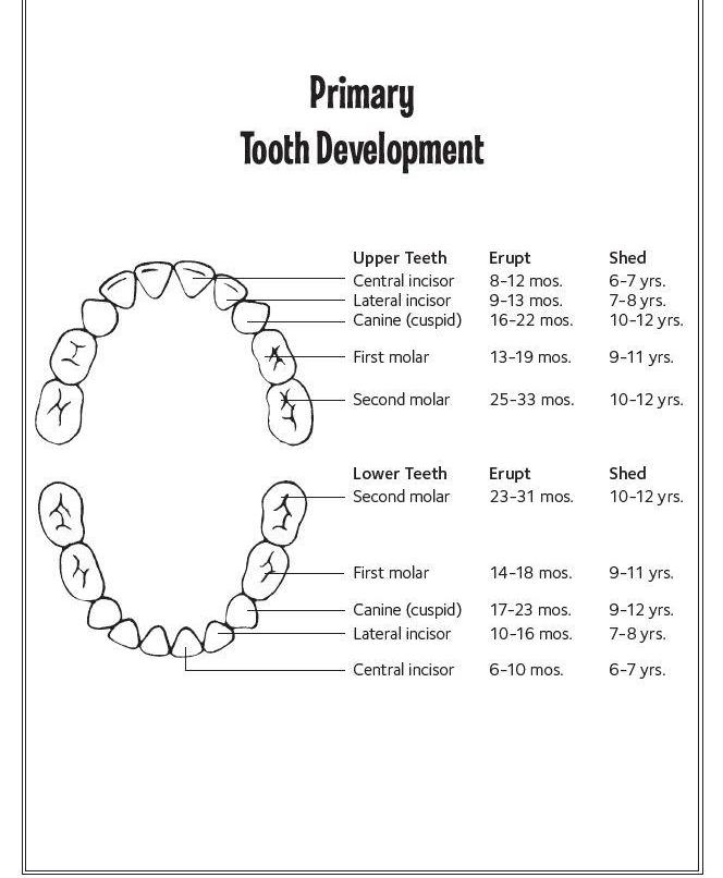 Diagram Showing Eruption Times for Primary Teeth