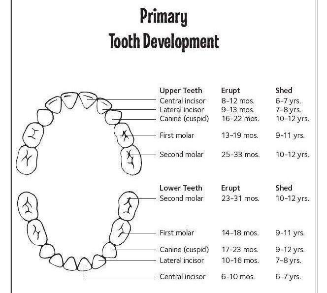 Diagram Showing Eruption Times for Primary Teeth | Kids' Dentistry in Kingsport TN
